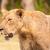 oroszlán · közelkép · vad · afrikai · állat · vezető - stock fotó © Donvanstaden
