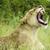 Lion Roaring stock photo © Donvanstaden