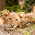 Cute Lion Cub and Mother stock photo © Donvanstaden