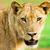 oroszlán · bámul · vad · közvetlenül · kamera · háttér - stock fotó © Donvanstaden