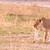vadászat · közelkép · vad · oroszlán · állat · afrikai - stock fotó © donvanstaden