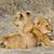 oroszlán · vad · macska · állat · afrikai · Tanzánia - stock fotó © Donvanstaden