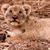 cute lion cub looking up stock photo © donvanstaden