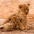 aranyos · oroszlán · játszik · homok · macska · fiatal - stock fotó © Donvanstaden