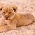 aranyos · oroszlán · medvebocs · ül · homok · macska - stock fotó © Donvanstaden