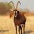 sable antelope stock photo © ecopic