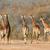 zsiráfok · nyáj · szavanna · vad · Kenya · Afrika - stock fotó © ecopic