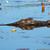 crocodilo · queensland · Austrália · natureza · viajar - foto stock © ecopic