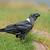 white necked raven stock photo © ecopic