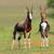veszélyeztetett · Dél-Afrika · fű · természet · állat · afrikai - stock fotó © ecopic
