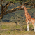 rothschilds giraffe stock photo © ecopic