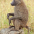 olive baboon stock photo © ecopic