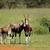 bontebok antelopes stock photo © ecopic