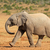 African elephant walking stock photo © EcoPic