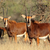 sable antelopes stock photo © ecopic