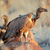scavenging white backed vultures stock photo © ecopic