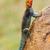 rainbow agama stock photo © ecopic