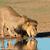 лев · питьевая · вода · борьбе · лице · саванна · ЮАР - Сток-фото © ecopic