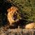 большой · мужчины · африканских · лев · портрет · пустыне - Сток-фото © ecopic