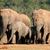 african elephant herd stock photo © ecopic