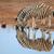 plains zebras drinking water stock photo © ecopic