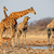 giraffe herd at waterhole stock photo © ecopic