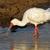 afrikai · madár · család · fajok · Afrika · Madagaszkár - stock fotó © ecopic