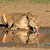 lioness drinking water stock photo © ecopic