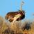 страус · африканских · грунтовая · дорога · природы · птица - Сток-фото © ecopic
