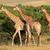 girafas · África · do · Sul · grande · família - foto stock © ecopic