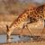 giraffe drinking water stock photo © ecopic