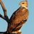 イーグル · 未熟 · 支店 · 南アフリカ · 空 · 鳥 - ストックフォト © ecopic