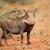 животного · уродливые · глядя · Африка · Постоянный · Буш - Сток-фото © ecopic