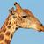 giraffe portrait stock photo © ecopic