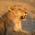vad · Afrika · Kenya · fű · macska · szépség - stock fotó © ecopic
