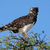 black breasted snake eagle stock photo © ecopic