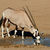 gemsbok antelope drinking water stock photo © ecopic