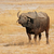 african buffalo stock photo © ecopic