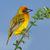 mannelijke · tak · blauwe · hemel · South · Africa · hemel · vogel - stockfoto © ecopic