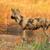 Afrika · köpek · köpekler · tehlikedeki · türler - stok fotoğraf © ecopic