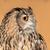 coruja · retrato · laranja · olhos · ouvido - foto stock © ecopic