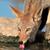 black backed jackal drinking stock photo © ecopic