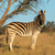 plains zebra stock photo © ecopic