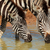 plains zebras drinking stock photo © ecopic
