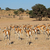 springbok herd stock photo © ecopic