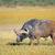 african buffalo stock photo © ecopic