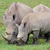 white rhinoceros feeding stock photo © ecopic