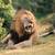мужчины · лев · добыча · животного · высокий · трава - Сток-фото © ecopic