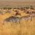 zebras and wildebeest grazing stock photo © ecopic