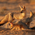 cape fox family stock photo © ecopic